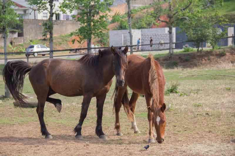 Após maus-tratos, quinze cavalos recolhidos na Grande Florianópolis (SC) estão para adoção
