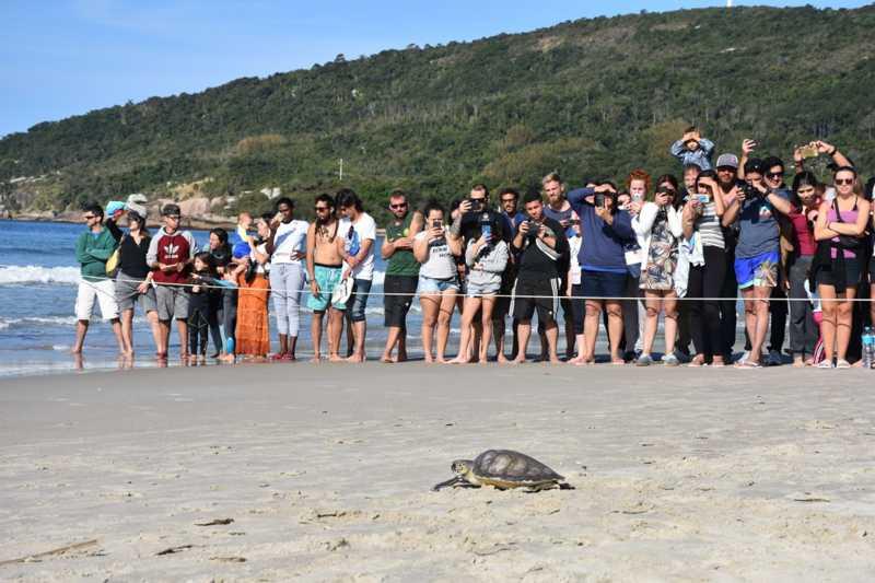 Tartaruga-verde é solta na praia da Barra da Lagoa, em Florianópolis, na tarde deste sábado (24) — Foto: Projeto Tamar/Divulgação