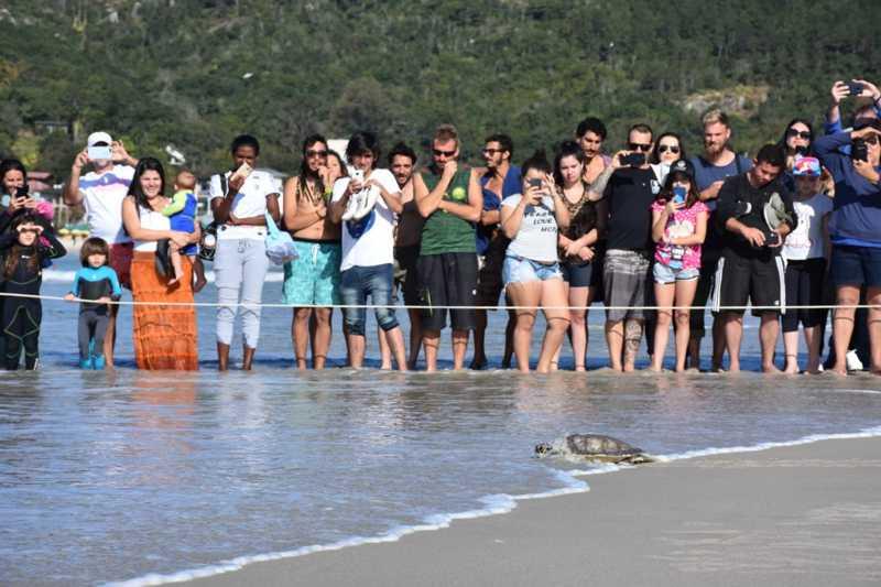 Tartaruga-verde chega ao mar após ser solta na praia da Barra da Lagoa, em Florianópolis, na tarde deste sábado (24) — Foto: Projeto Tamar/Divulgação