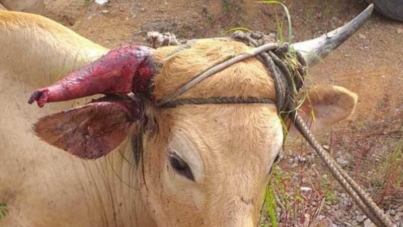 Animais são agredidos e sujeitos a exaustão durante a farra do boi, em Governador Celso Ramos – Arquivo/Divulgação/FBNM/ND