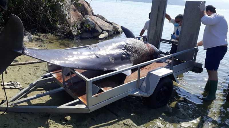 Boto foi encontrado morto em Imbituba — Foto: PMP/ Udesc Laguna/SC