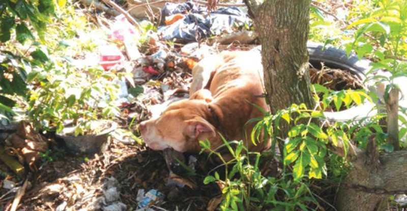 Guarda resgata pit bull que vivia no lixo em Itajaí, SC