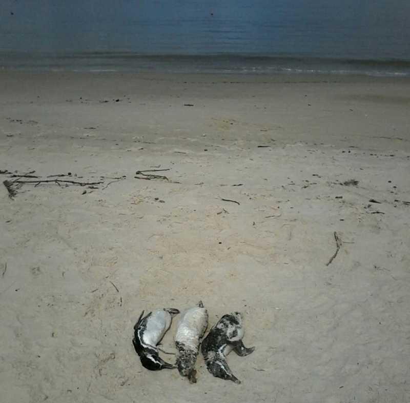 Pinguins foram encontrados nas areias da praia de Bombinhas — Foto: PMP-BS/Divulgação