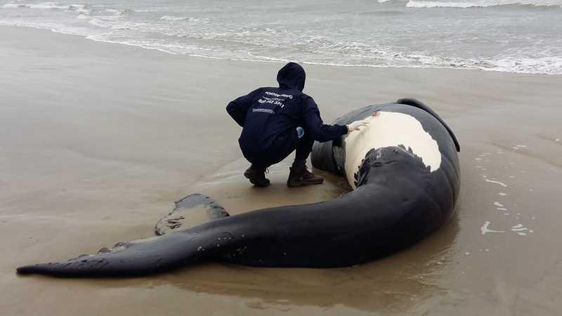 Filhote de baleia encontrado morto em Laguna — Foto: PMP-BS/ Udesc