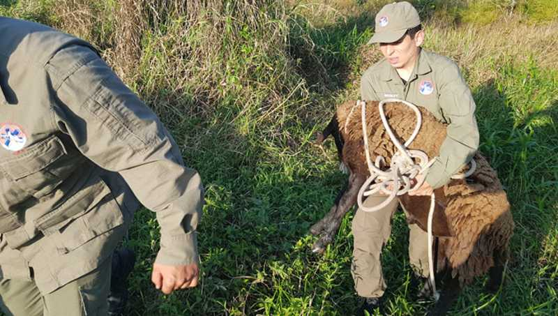 Ovelha resgatada de maus-tratos morre pouco tempo depois de ter sido salva, em SC