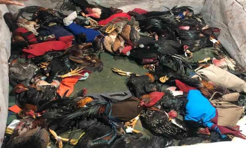 Pelotão Ambiental flagra rinha e apreende 60 galos em Aracaju, SE