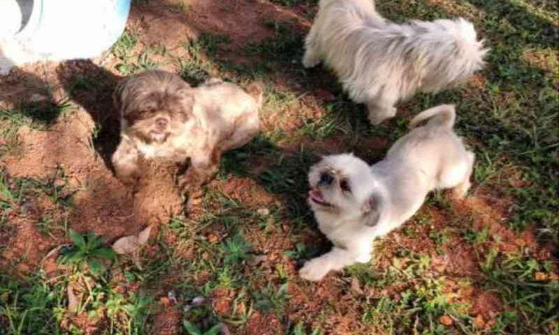 Guarulhos (SP) resgata 5 shi-tzus fêmeas vítimas de maus-tratos; elas estão disponíveis para adoção