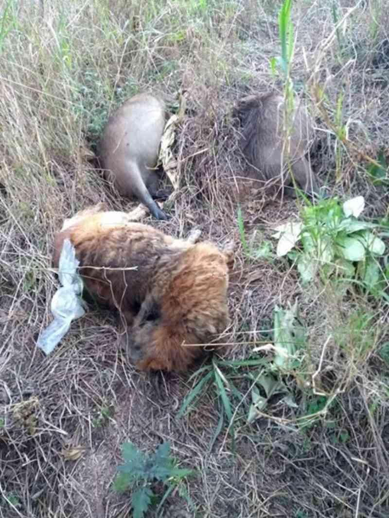 Três capivaras e um cachorro são encontrados mortos em um matagal, em Itupeva, SP