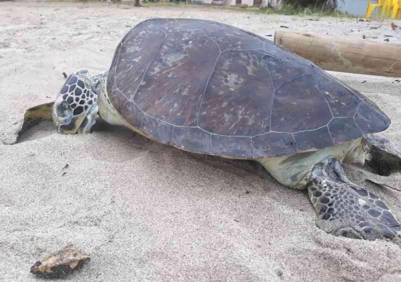 Tartaruga-verde é encontrada morta em praia de Ubatuba, SP