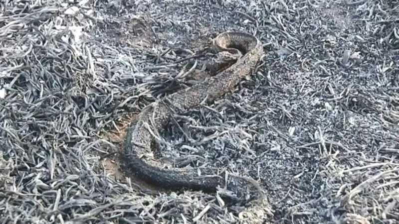 Cobra foi localizada morta em área atingida pelo fogo em Castilho — Foto: Reprodução/TV TEM