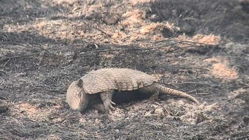 Animais são encontrados carbonizados em área de reserva ambiental atingida por queimada em Castilho, SP