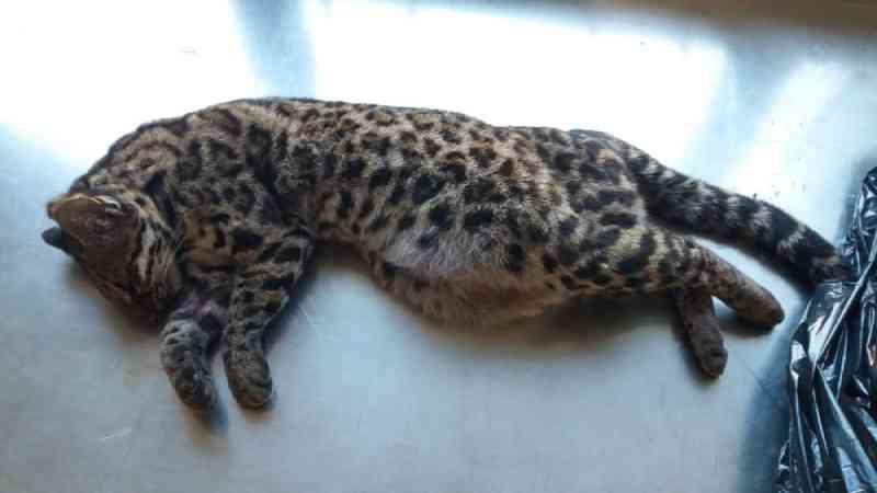 Felino é encontrado morto após ser atropelado em rodovia em SP