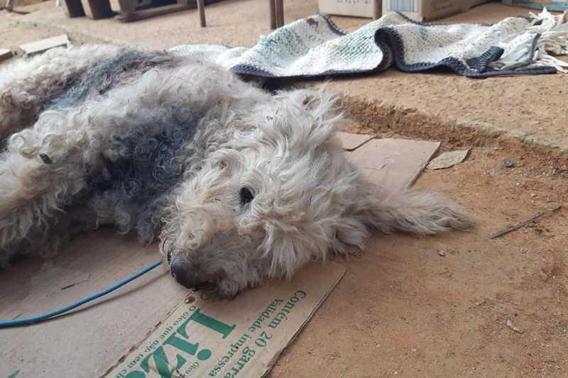 Crueldade! Cãozinho leva tiro e infelizmente não resiste aos ferimentos e morre em Itupeva, SP