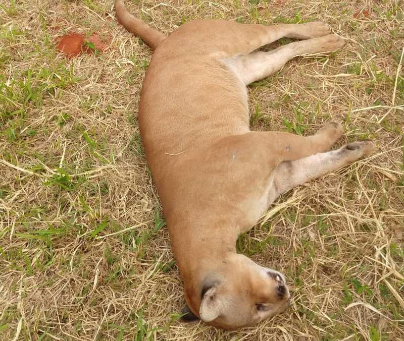 Onça-parda foi encontrada morta em rodovia de Jales — Foto: Arquivo Pessoal