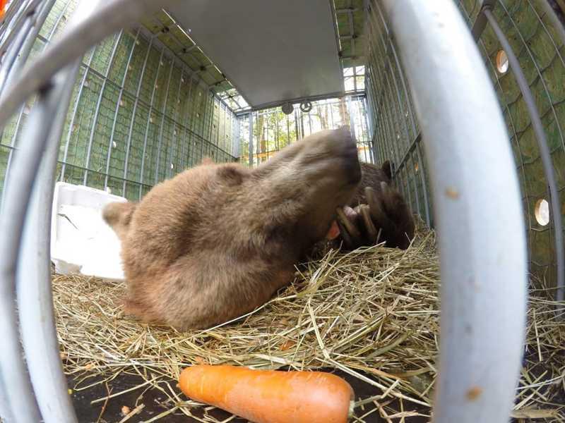 Urso dorme na chegada a santuário de animais em Joanópolis — Foto: Biga Pessoa/ Rancho dos Gnomos