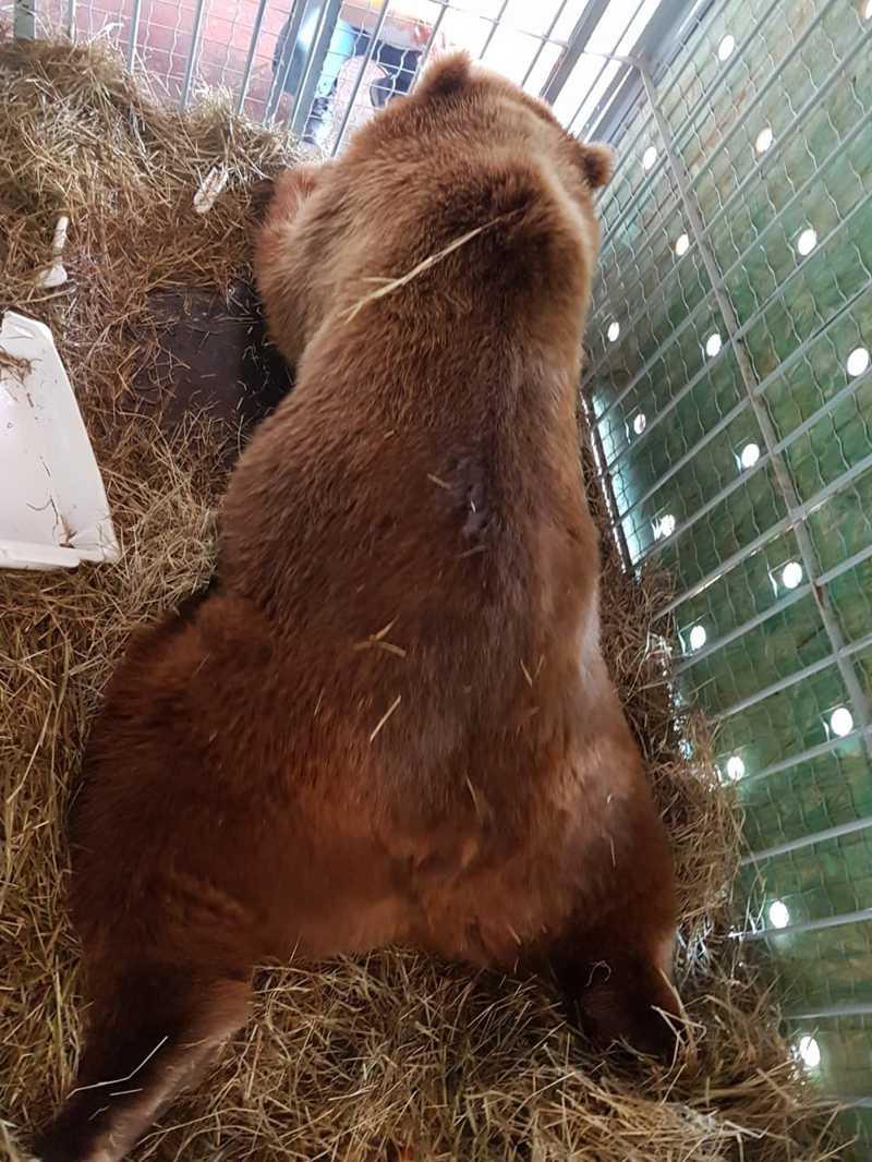 Ursos serão soltos no ambiente onde vão viver no fim da manhã deste sábado (30) — Foto: Biga Pessoa/ Rancho dos Gnomos