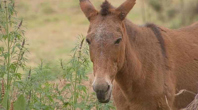 Mula que foi resgatada por protetores de animais foi adotada — Foto: Reprodução/TV TEM