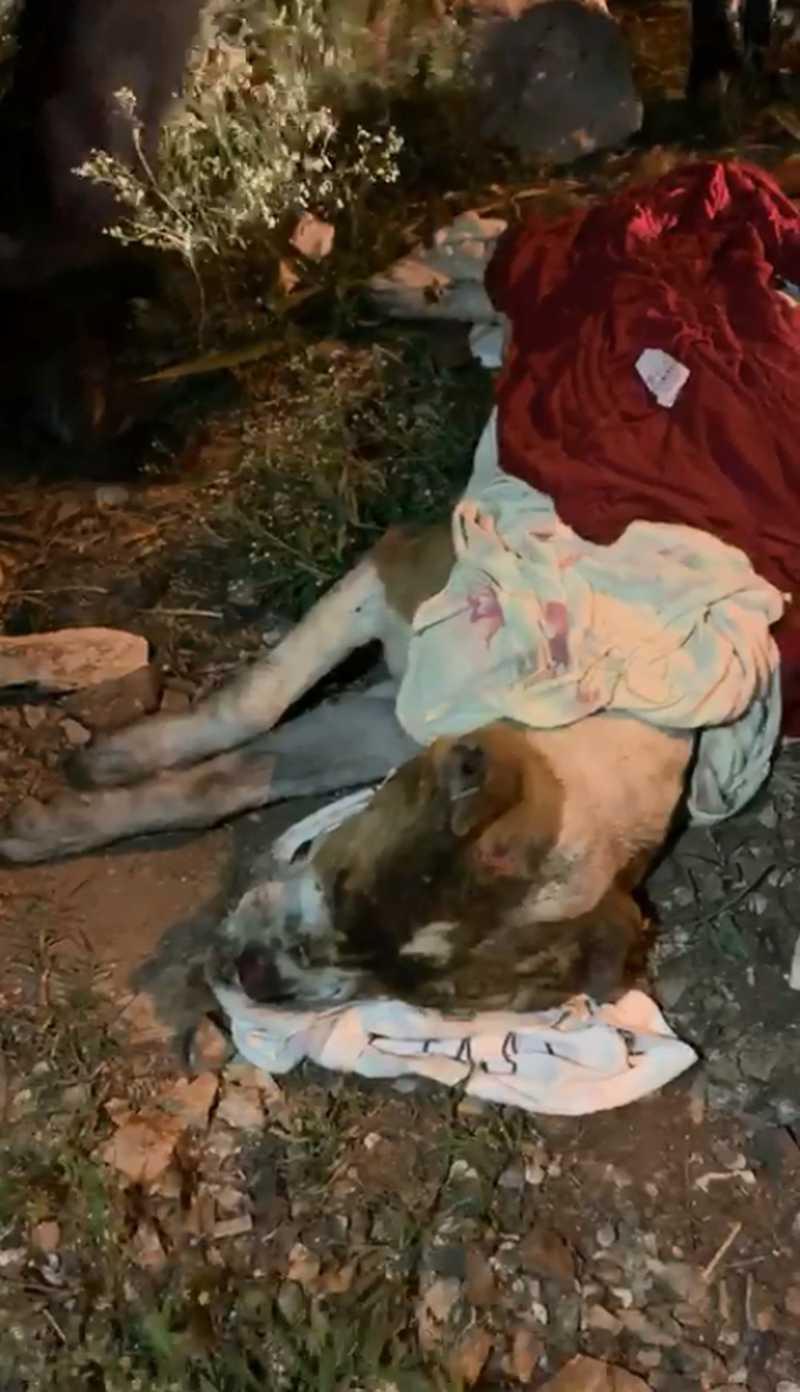 Pit bull que foi queimado estava enrolado em cobertor em Limeira — Foto: Associação Limeirense de Proteção aos Animais