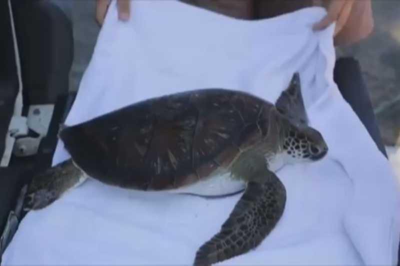 Animal foi resgatado por equipes do Instituto Biopesca e segue em observação na sede da organização