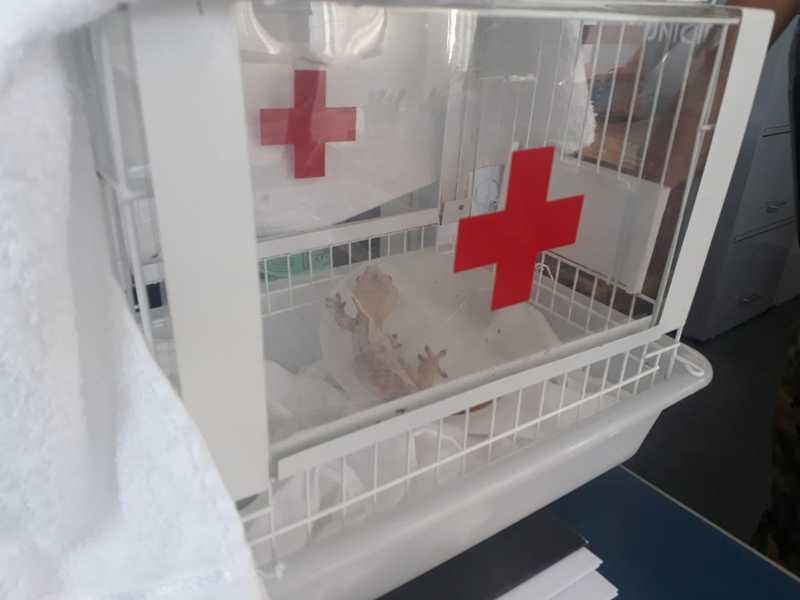 Lagartixa-de-crista foi encaminhada para centro de tratamento em Cubatão, SP — Foto: Divulgação/Prefeitura de Praia Grande