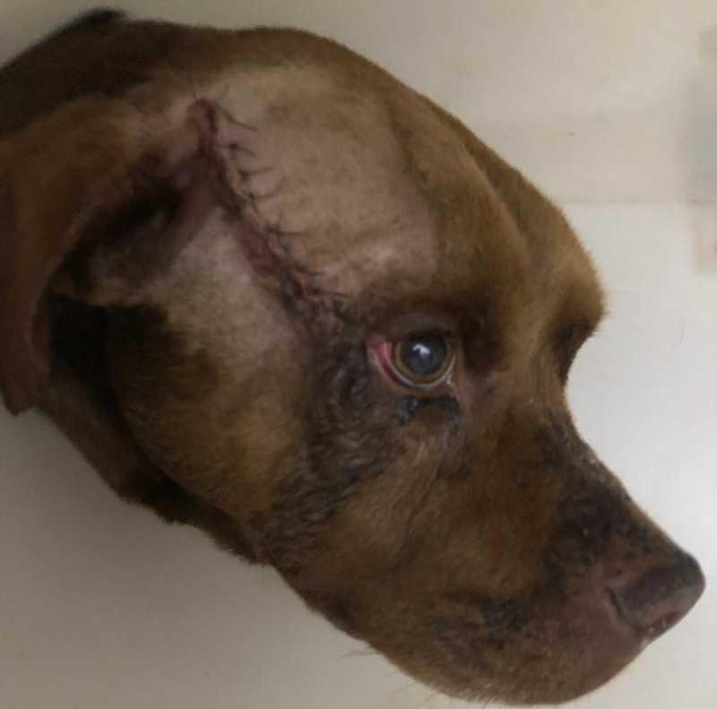 Sutura foi feita no local onde facada atingiu o animal que não corre mais risco de vida — Foto: Arquivo Pessoal