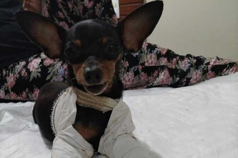 A cadelinha teve que usar talas, placas e pinos para se recuperar Cadelinha teve que usar talas, placas e pinos para se recuperar (Foto: Facebook/Benedito Furtado)