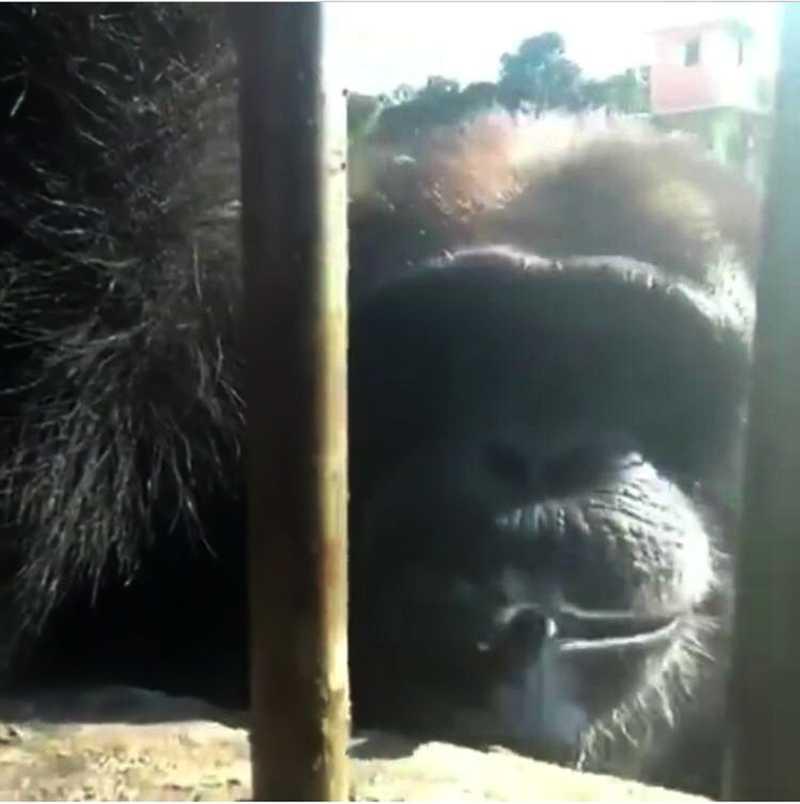 Chimpanzé de santuário em Sorocaba aparece fumando em vídeo — Foto: Reprodução