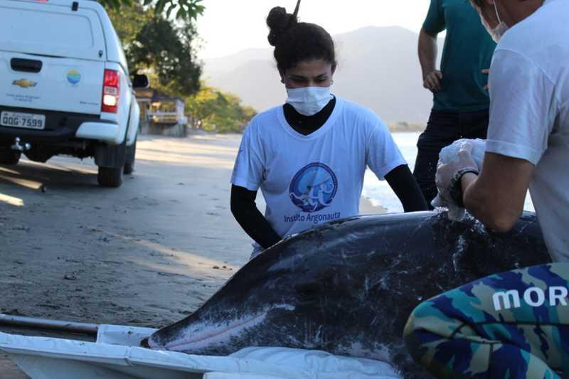 Golfinho é resgatado após encalhar em praia de Ubatuba — Foto: Divulgação/ Instituto Argonauta