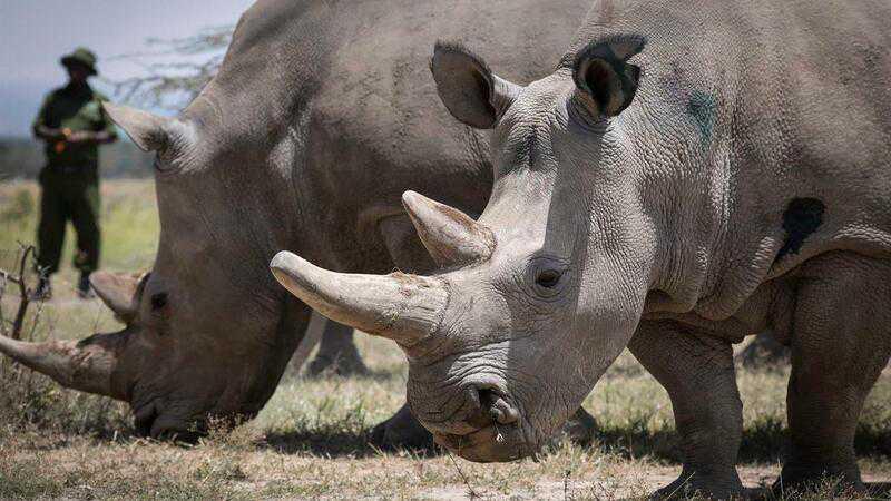 Rinocerontes brancos na Namíbia. Espécie está em vias de extinção. EPA/DAI KUROKAWA