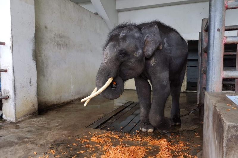 O mundo reagiu ao apelo por este elefante em cativeiro. Agora, ele tem uma vida nova