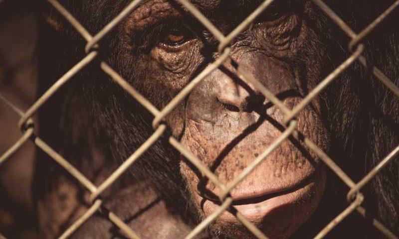 A Legislação Protetiva Brasileira, há décadas, considera o animal como sujeito de direitos, e não como coisa