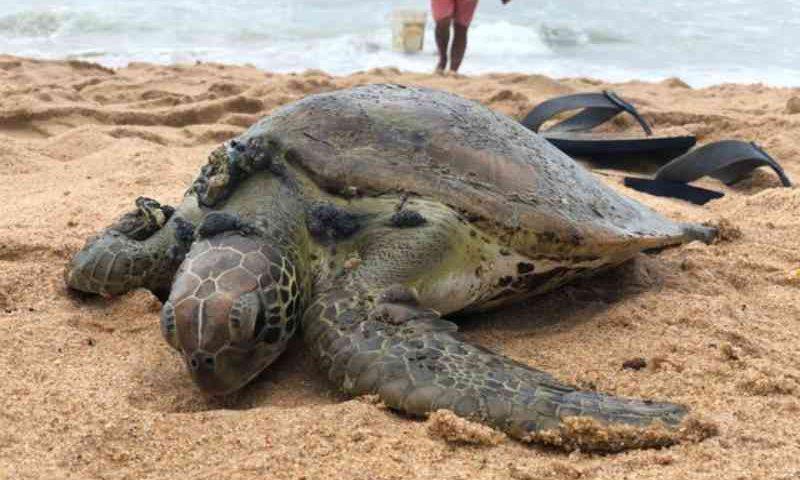Tartaruga viva encalha na praia da Jatiúca, em Maceió (AL), e é resgatada