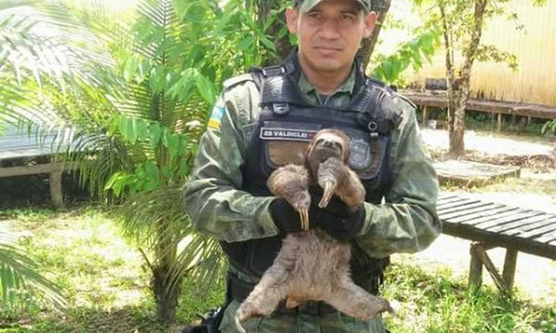 Bicho-preguiça mantido em cativeiro no Bailique é resgatado e devolvido a natureza — Foto: Batalhão Ambiental/Divulgação