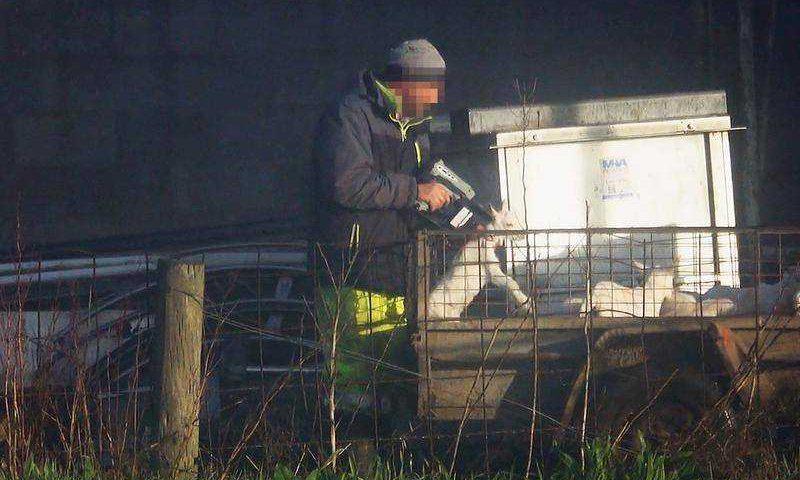 'Tratados como lixo': vídeo chocante mostra cabras baleadas na cabeça em fazenda