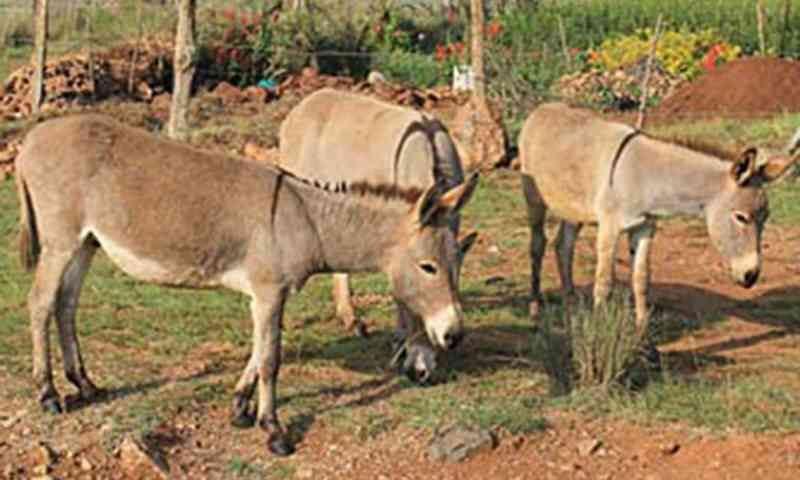 Ativistas dos animais querem a proibição do abate de jumentos devido ao número baixo