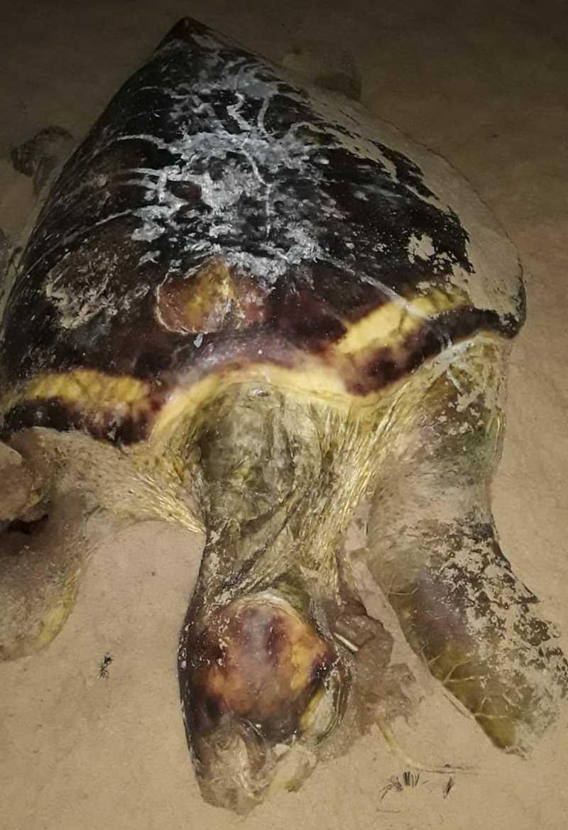 Projeto (A)mar registro 100 mortes neste ano — Foto: Coração de Tartaruga/Acervo Núcleo de Encalhes do Projeto (A)mar
