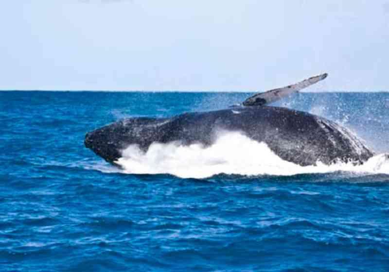 Maior número de baleias jubarte encalhadas nas praias estão enfermas