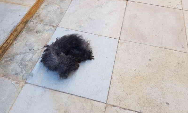 Morre de inanição um dos quatro cachorros abandonados sem água e sem comida em apartamento no Ceará