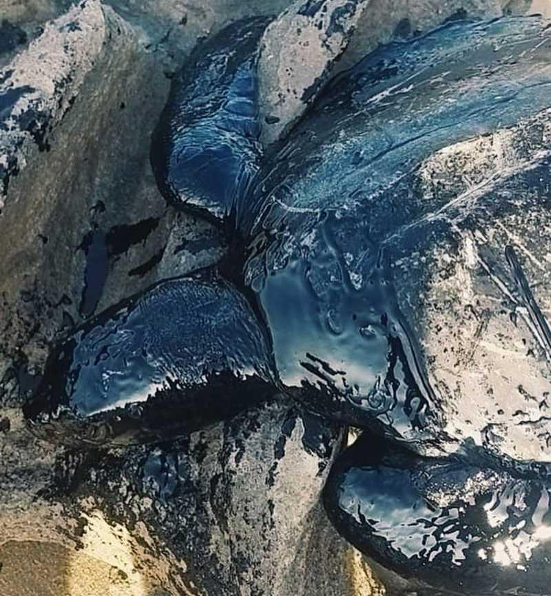 O animal estava coberto por uma substância semelhante a piche (asfalto líquido). — Foto: Divulgação/ Instituto Verdeluz