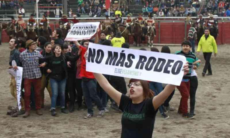 Denunciam tortura com eletrochoque a uma vaca no rodeio de Pirque, no Chile