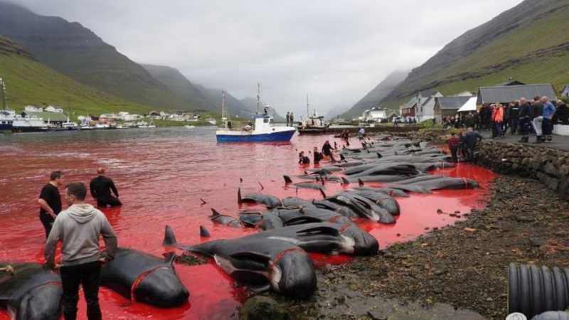 A Sea Shepherd chegou a oferecer € 1 milhão, por 10 anos, para encerrar a matança (Foto: Sea Shepherd)