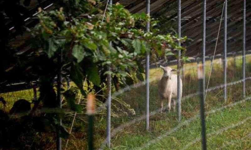Salve os cordeiros: 'O homem mais odiado de Yellow Springs' luta para impedir que faculdade mate animais