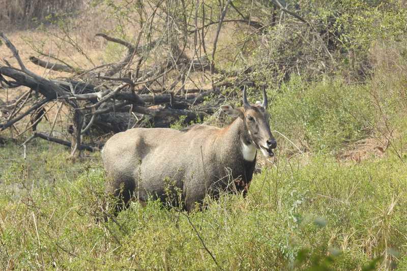 Macho antílope da espécie Boselaphus tragocamelus possui chifres; autoridades indianas decidiram matar 300 animais depois de reclamações de fazendeiros (Foto: Dr. Raju Kasambe/Wikimedia Commons)