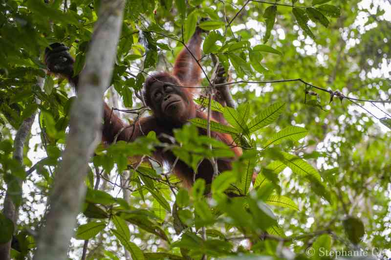 Interrupção do desmatamento e proteção dos orangotangos na Indonésia
