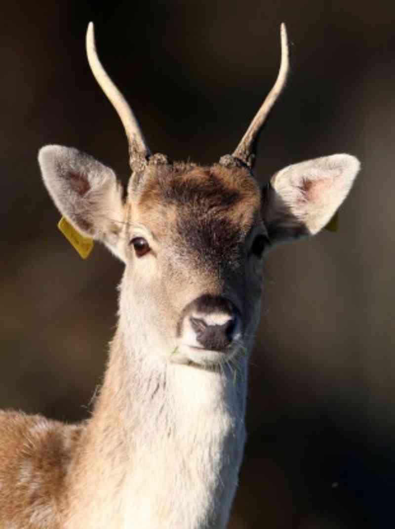 Irlanda: veterinário contratado pelo governo matou mais de 150 cervos em reserva natural nos últimos quatro anos