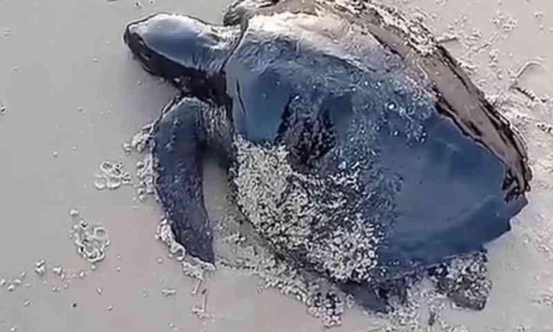 Tartaruga é encontrada coberta por óleo em praia de Alcântara, MA