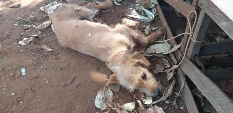 Cão envenenado em Ituiutaba (MG) é resgatado pela PMA