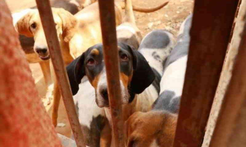 Após resgate de 40 foxhound, moradores denunciam 'prisão' de cães da mesma raça