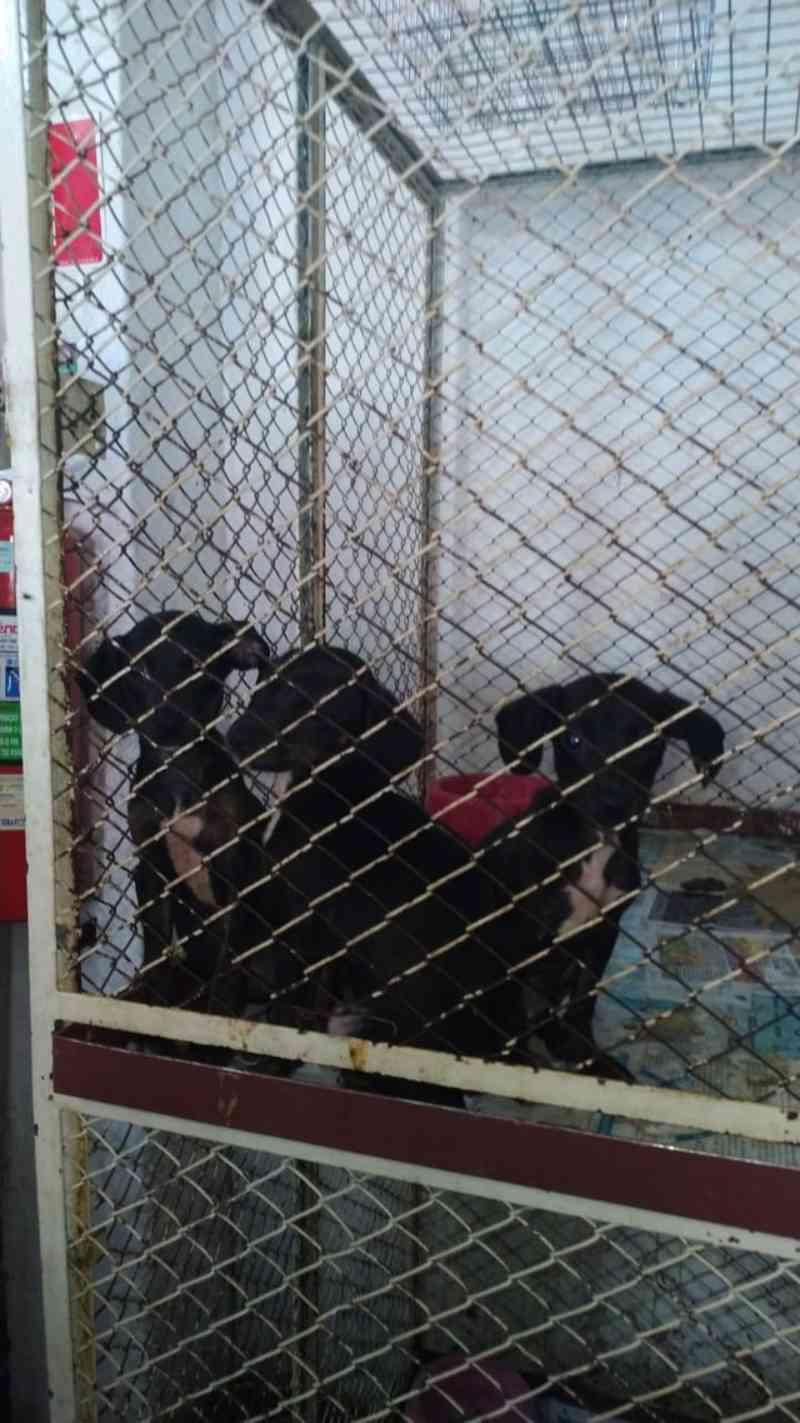 Cachorros para venda eram mantidos em clínica amontoados em gaiolas e sem controle de vacinação, diz PMA