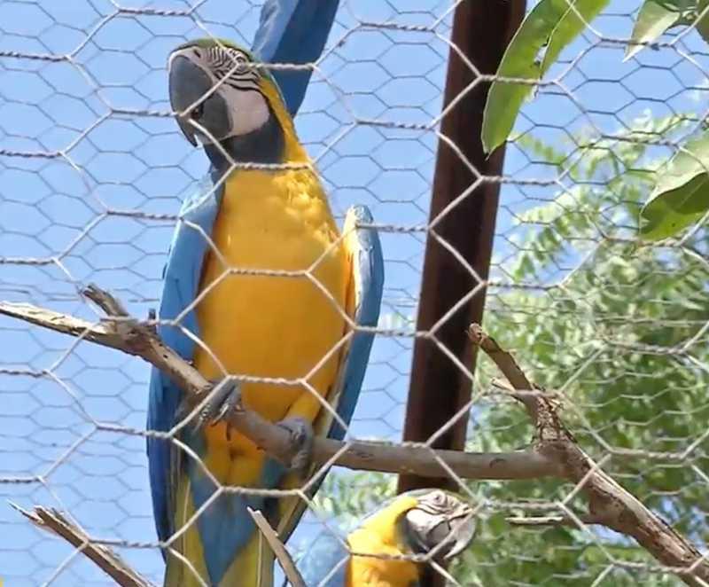 Araras resgatadas passarão por reabilitação — Foto: TVCA/Reprodução